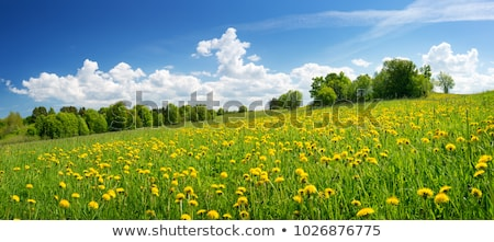Countryside field with dandelions Stock photo © Sportactive