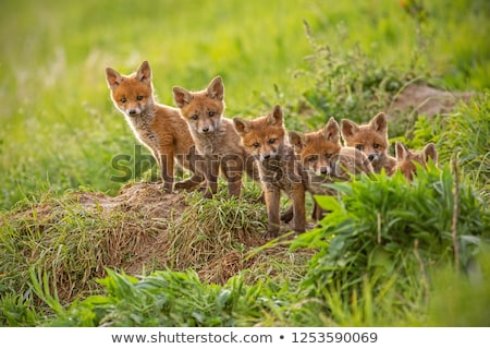 Faible rouge Fox jeunes recroquevillé herbe Photo stock © jeffmcgraw