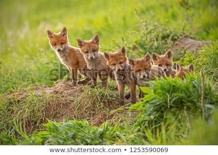 kicsi · piros · róka · fiatal · összegömbölyödve · fű - stock fotó © jeffmcgraw