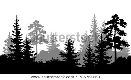 black pine tree forest isolated on white grey background stock photo © fosin