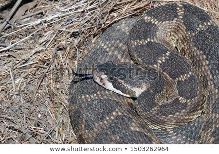 Northern Pacific Rattlesnake - Crotalus oreganus oreganus Stock photo © yhelfman