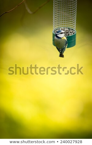 tiny blue tit on a feeder in a garden hungry during winter stock photo © lightpoet