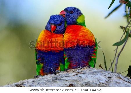regenboog · tuin · vogel · Blauw · Rood · tropische - stockfoto © artistrobd