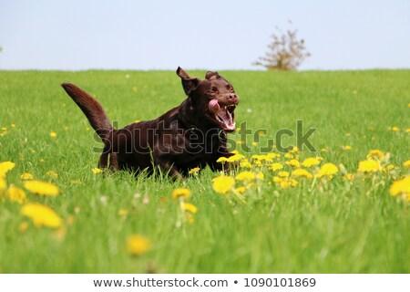 chocolate brown labrador retriever in the city stock photo © dariazu