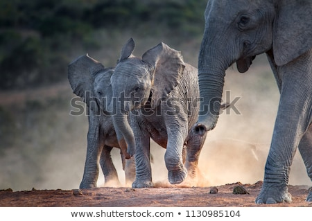 Young elephant Stock photo © bluering