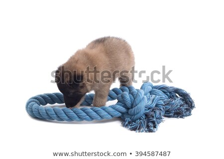 puppy belgian shepherd tervuren playing with rope isolated stock photo © avheertum