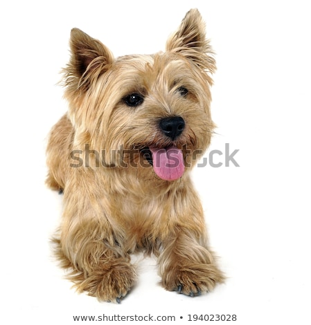 Cairn Terrier lying in the white studio floor stock photo © vauvau