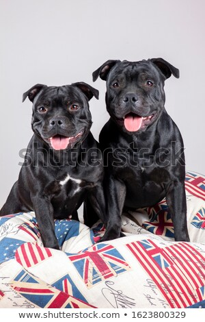 two Staffordshire Terrier in a dark studio stock photo © vauvau