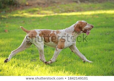 肖像 白 犬 幸せ 美 頭 ストックフォト © vauvau