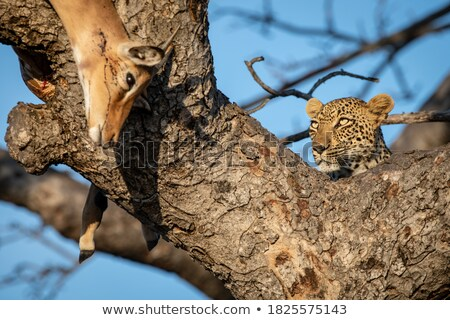 Leopard with an Impala kill in a tree. Stock photo © simoneeman