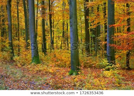 Autumn landscape in the beech forest Stock photo © Kotenko