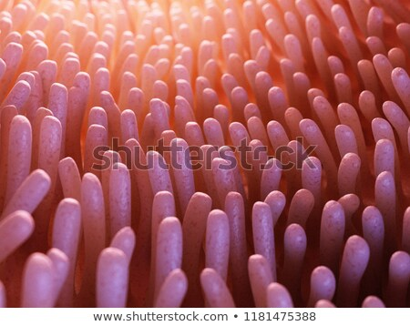 Intestinal villi and microvilli Stock photo © Tefi