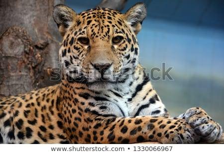oroszlán · medvebocs · felfelé · néz · feketefehér · park · Dél-Afrika - stock fotó © simoneeman