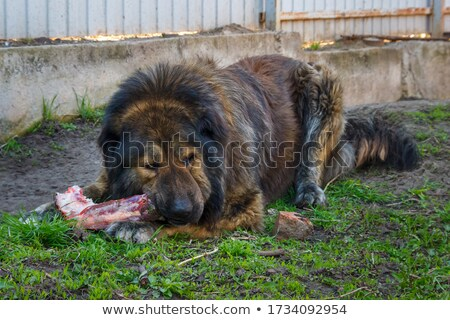 Caucasian Shepherd dog eating bone Stock photo © Mikko