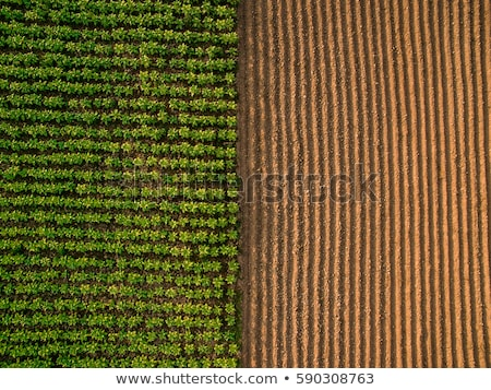 Texture of cultivated field. Stock photo © inaquim