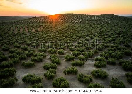 mısır · alan · nokta · görmek · ekili · bahar - stok fotoğraf © stevanovicigor