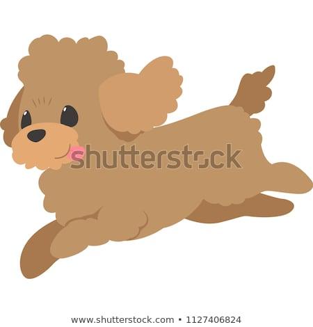 Toy poodle dog running Stock photo © raywoo