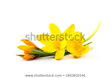 Jaune crocus blanche fleur printemps jardin Photo stock © bdspn