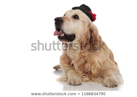 gentleman labrador lies and pants while looking up to side Stock photo © feedough