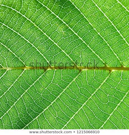 Gedetailleerd macro foto groen blad aderen natuurlijke Stockfoto © artjazz