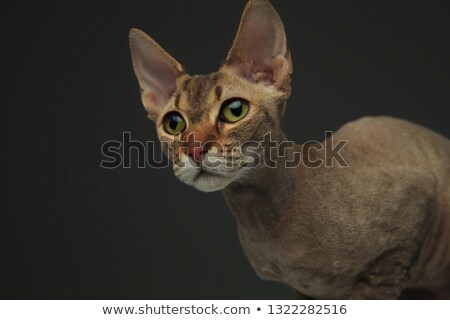 Cute little peterbald cat sitting Stock photo © feedough