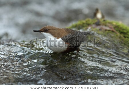 White-throated dipper (Cinclus cinclus) sitting on a stone Stock photo © lightpoet