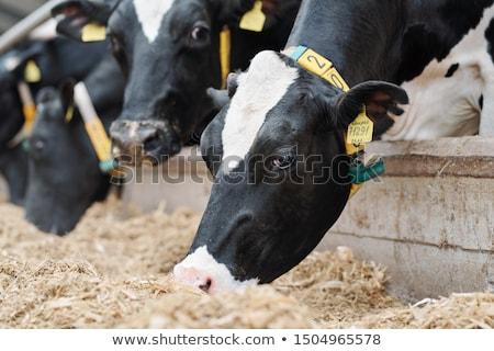 Gruppo latte vacche fresche fieno piedi Foto d'archivio © pressmaster