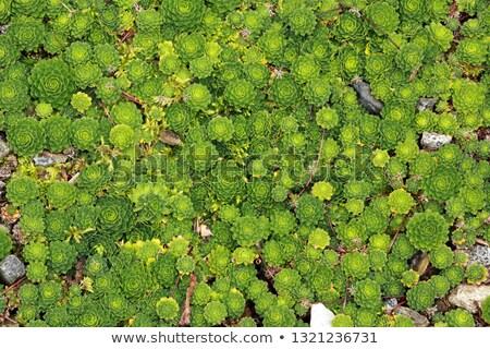 緑 クモの巣 ジューシーな 工場 成長 テクスチャ ストックフォト © galitskaya