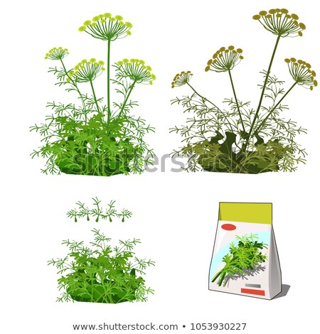 Set of stages of life of a agricultural plant dill isolated on white background. Paper packaging for Stock photo © Lady-Luck