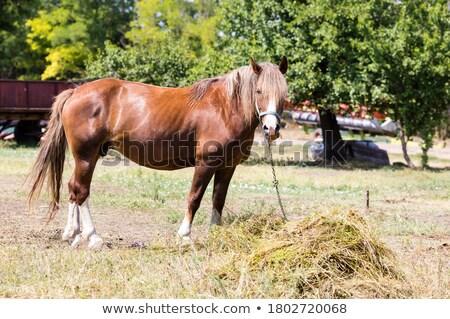 piebald  horse in the meadows  green Stock photo © njaj