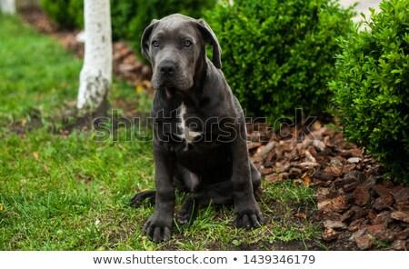 Cachorro italiano mastim sessão isolado Foto stock © eriklam