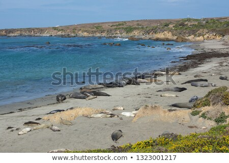 Trail from Elephant Seal on Ocean Shore Sand Stock photo © feverpitch