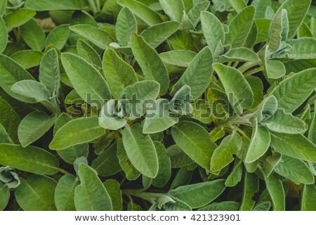 Organik adaçayı bitki yaprakları taze kuru Stok fotoğraf © sirylok