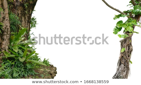 green ivy plant and tree trunk background Stock photo © sirylok