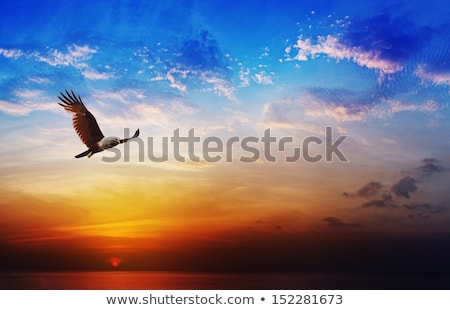 Flying eagle in the sunset Stock photo © ajlber