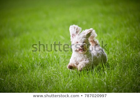 Havanese cão caminhada jardim feliz cabelo Foto stock © samsem
