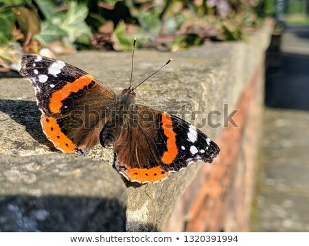 'Red Admiral' butterfly on wall  Stock photo © SecretSilent