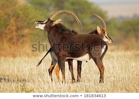 Iki çim saç safari boynuz Stok fotoğraf © albertdw