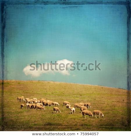 Ovejas ladera Inglaterra primavera hierba naturaleza Foto stock © jayfish