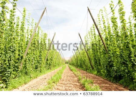 hops garden czech republci stock photo © phbcz