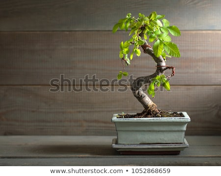 вяз бонсай дерево красивой отображения за пределами Сток-фото © feverpitch