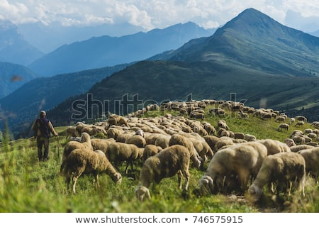 Herd of sheep in Dolomites, Italy Stock photo © fisfra