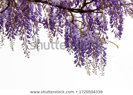 Wisteria Wistaria flowering plant in the pea family Fabaceae Stock photo © Dserra1