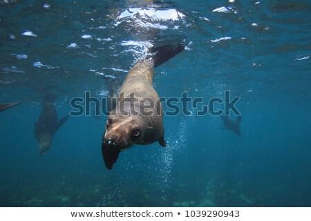 Colonie of Cape Fur Seals (Arctocephalus pusillus) Stock photo © dirkr