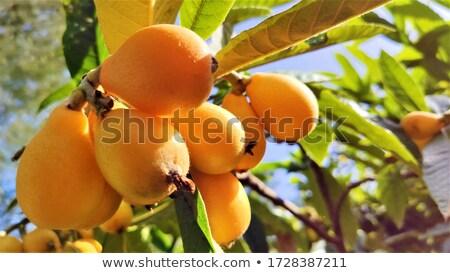 loquats stock photo © nito