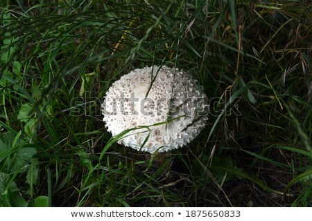 Amanita vittadinii mushroom  Stock photo © AlessandroZocc