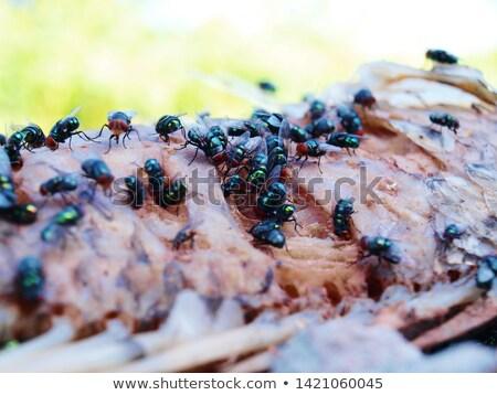 swarm of flies Stock photo © sirylok