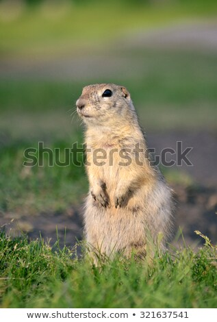 squirrel standing on ground stock photo © juhku