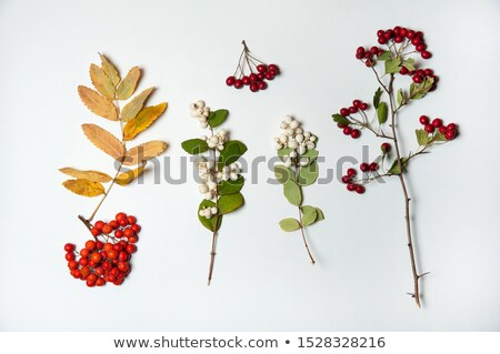 Autumn branch of rowan with berries and leaves Stock photo © LoopAll