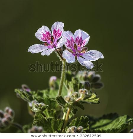Erodium pelargoniiflorum 'Sweetheart' flowers, heron's bill Stock photo © Elenarts
